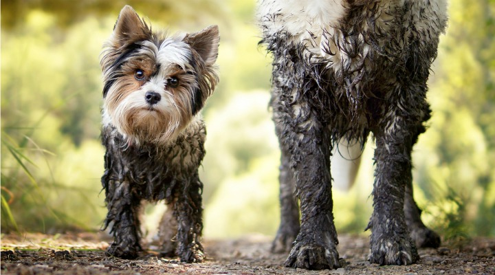 muddy small dog